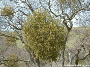 Mistletoe Growing on Oak in the Bay Area